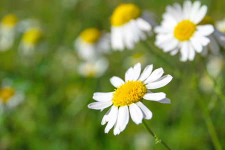 flowers of small daisies on a green background