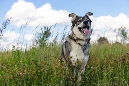 beautiful gray dog stands in a meadow among green grass Stock fotó - 134720172