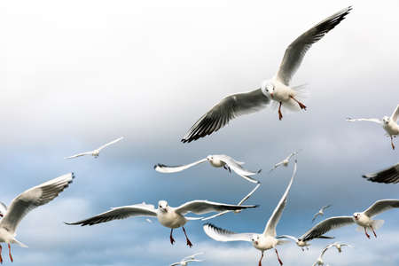 a large flock of hungry gulls in flight