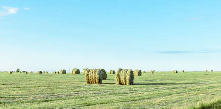round bales of dry hay in a green field, panorama