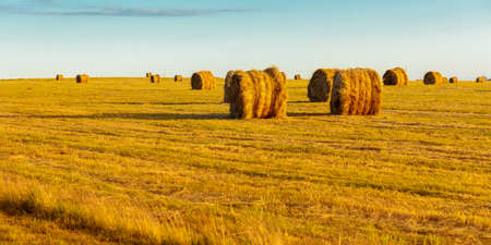 round bales of dry hay in a yellow autumn field