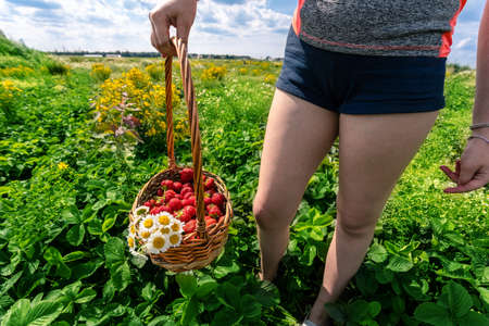 basket full of fresh strawberries in a girl's hand on a background of green field 免版税图像