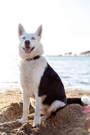 black and white husky with blue eyes sits on a sea beach at sunset 免版税图像