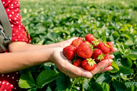 handful of ripe fresh strawberries in female palms on a background of green leaves