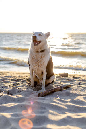 happy black and white husky sits on a sea beach at sunset