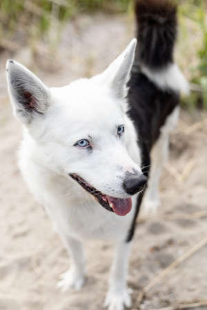black and white husky with blue eyes outdoors