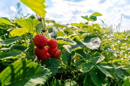 fresh ripe strawberries in the garden among green leaves 免版税图像