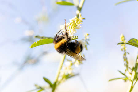 bumblebee collects nectar from a flower on a sunny day