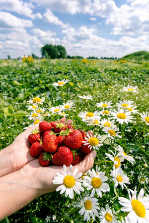 a handful of ripe fresh strawberries in female palms on the background of a green field with daisies 免版税图像