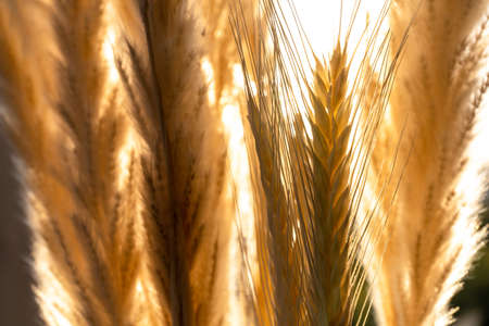 bright yellow ears of corn in sunlight, macro