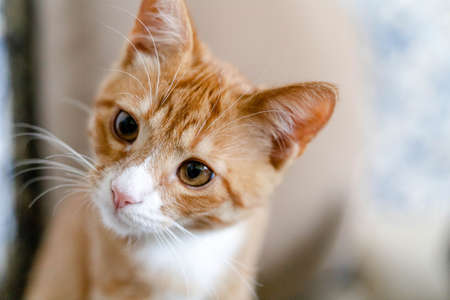 ginger cute kitten with a curious look