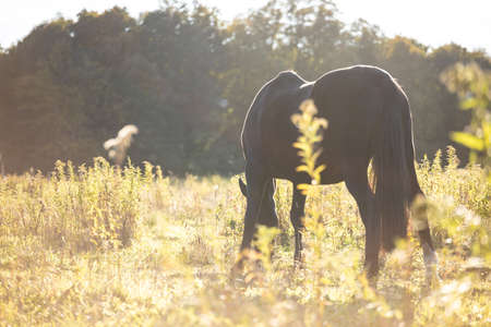 black horse stands on a sunny field against the background of the forest and there is grass