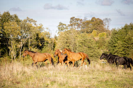 a small herd of horses gallops across the wild field against the backdrop of the forest