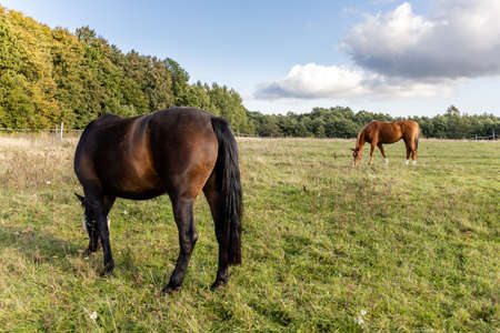 two horses graze on a green field on a farm on a sunny day