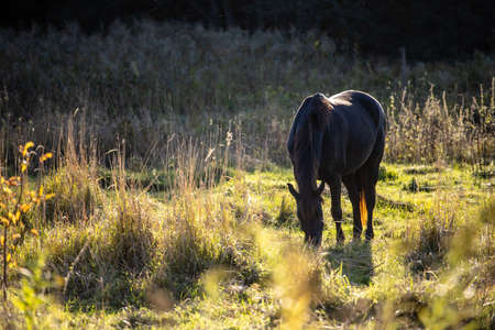 brown horse is standing in a sunny meadow and eating grass 免版税图像