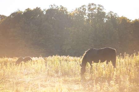 horses graze on a sunny yellow field at sunset 免版税图像