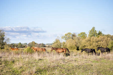a small herd of horses walks through a wild field against the backdrop of a forest 免版税图像