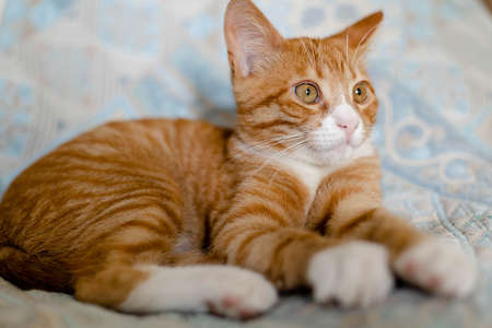 ginger lazy kitten lies on the bed