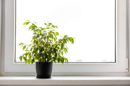 small indoor tree in a pot on the windowsill against the background of a bright window