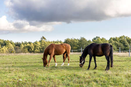 two horses graze on a green field on a farm 免版税图像