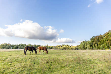 two horses graze on a green field on a farm on a clear sunny day 免版税图像