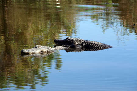 wildlife preserve: American alligator in a wildlife preserve in Florida