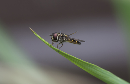 hover: Hover Fly Macro Stock Photo