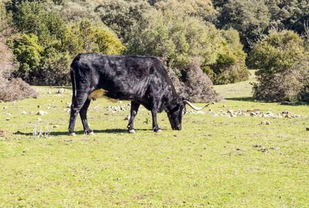 Bulls grazing in the meadows of Cadiz Reklamní fotografie