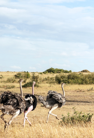 Ostriches in the savannah of Kenya under a cloudy sky