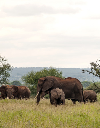 Elephants in the prairies with acacias from Kenya on a cloudy day