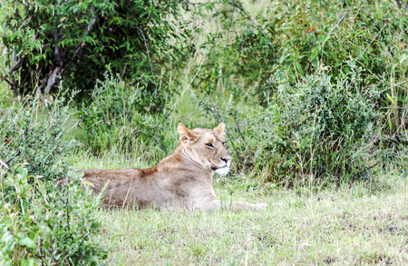 Lioness in the jungle of Kenya on a cloudy day