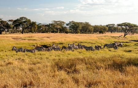 Zebras in the savannah of Tanzania Stock Photo
