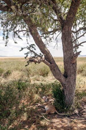 Leopard on the branches of a tree in the savannah of Tanzania