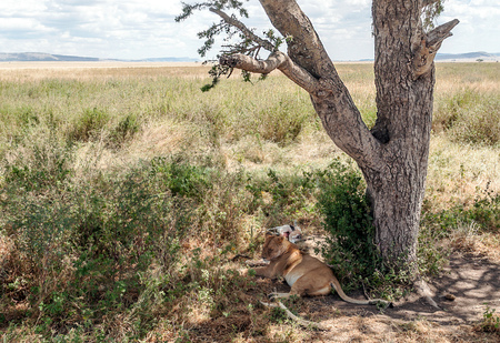 Lioness in the savannah of Tanzania Stock Photo