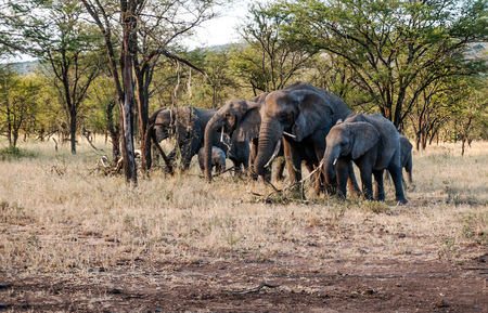 Elephants surrounded by acacias in Tanzania