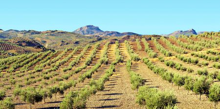 Fields of olive groves in the south of Spain in a sunny day