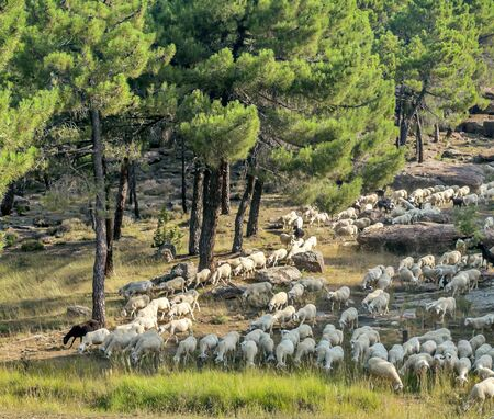 Sheep running through the mountains of Teruel in the center of Spain.