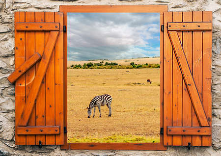Zebra grassing in Kenyan savannah. Its a point of view from window