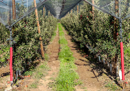 Apple trees in a greenhouse in Catalonia in the Pyrenees mountains