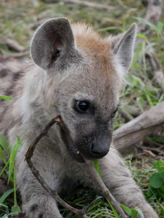 Spotted Hyena cub biting stick