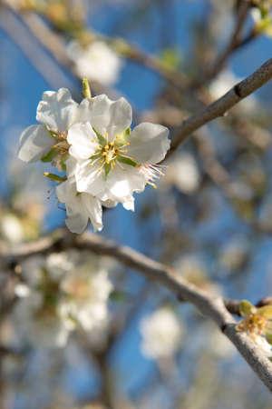 flor: Almendro en flor, Mallorca, Baleares