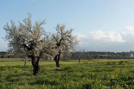 Almendro en flor, Mallorca, Baleares Foto de archivo