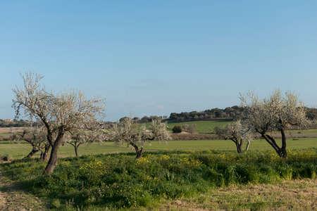 Almendro en flor, Mallorca, Baleares
