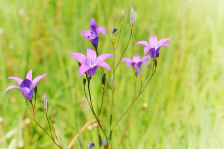 Purple bells on a background of bright green grass