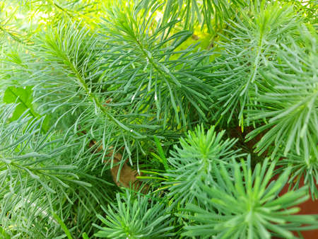 Herringbone fluffy grass. A green plant. 免版税图像