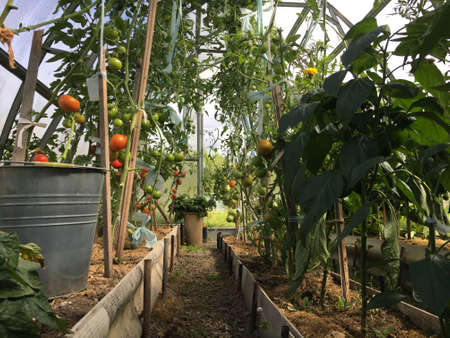 Greenhouse with tomatoes and peppers