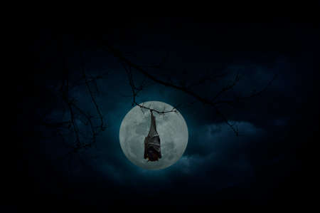 over the moon: Bat sleep and hang on dead tree over moon and cloudy sky, Mysterious background, Halloween concept