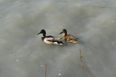 Wild ducks photo