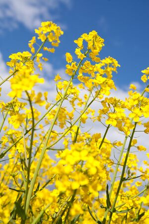 Rapeseed, canola crops on blue sky photo