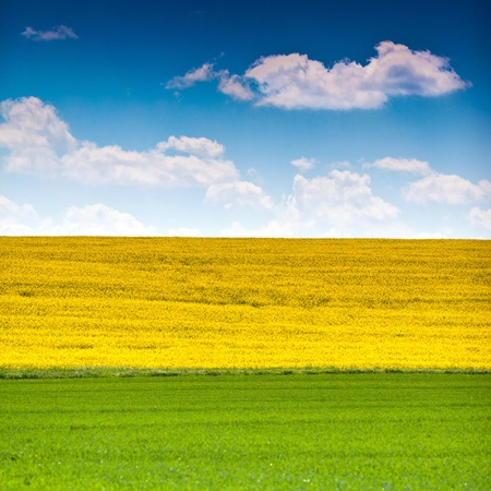 Landscape with rapeseed flowers, grass and sky